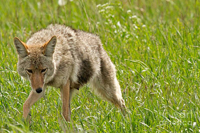 Coyote Photograph - The Provider by Natural Focal Point Photography