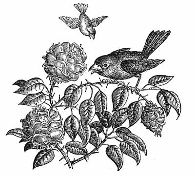 The Roses And The Sparrow Print by Granger