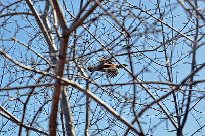 Woodcock Photograph - The Ruffed Grouse Flying Through Trees And Branches by Asbed Iskedjian