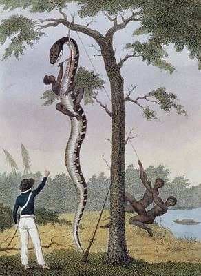 Snake Drawing - The Skinning Of The Aboma Snake by John Gabriel Stedman