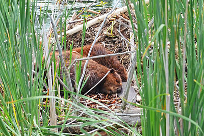 Woodcock Photograph - The Sleeping Beavers by Asbed Iskedjian