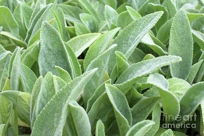 Photograph - The Softness Of Lamb's Ear  by Adam Long