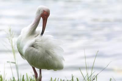 Ibis Photograph - The White Ibis  by Saija  Lehtonen