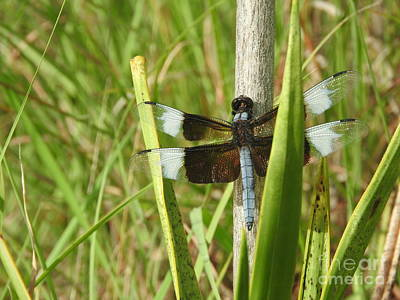 Dragonflies Photograph - The Widow Skimmer by Tracy Habenicht