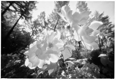 These White Roses Print by Daniel Furon