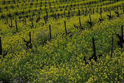 Vineyard Photograph - Thick Lush Mustard Grass by Garry Gay