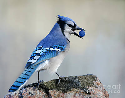 Bluejay Photograph - Thief Of Sweets by Jan Piller
