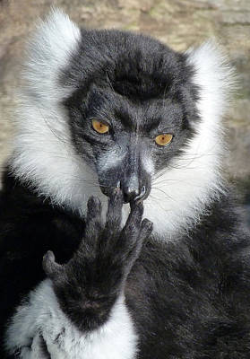 Thinking Black And White Ruffed Lemur Print by Margaret Saheed