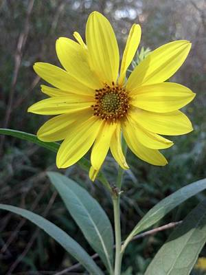 Thinking Of You...helianthus-salicifolius Print by Trinket's  Legacy
