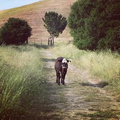 Cow Photograph - Cow by Nancy Ingersoll