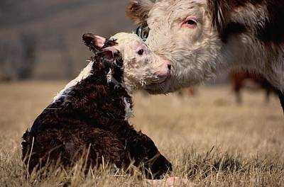Photograph - This Young Hereford Was Born by Sam Abell