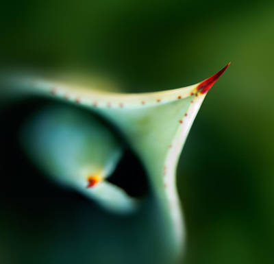 Thorn Of Aloe Leaf Close-up Print by Johan Swanepoel