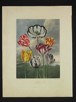 Thornton - Tulips Print by Pat Kempton