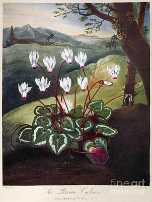 Thornton: Cyclamen Print by Granger