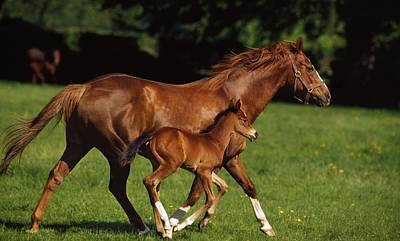 Photograph - Thoroughbred Chestnut Mare & Foal by The Irish Image Collection