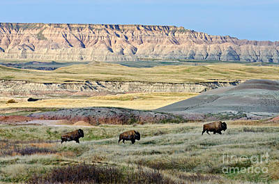 Three Bison Bulls Print by Tom & Pat Leeson