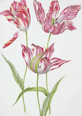 Tulips Drawing - Three Broken Tulips by Nicolas Robert