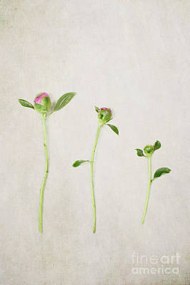 Simple Beauty In Colors Photograph - Three Buds by Stephanie Frey