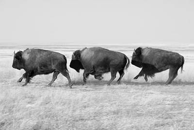 Charging Photograph - Three Buffalo In Black And White by Todd Klassy