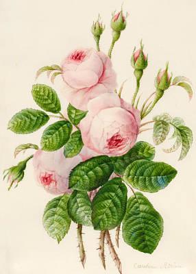 Three Centifolia Roses With Buds Print by Caroline Adrien