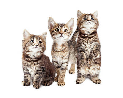 Playing Photograph - Three Curious Tabby Kittens Together On White by Susan Schmitz