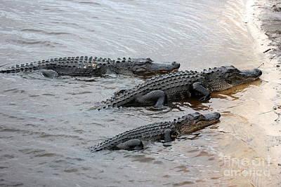Three Gators On Riverbank Print by Carol Groenen