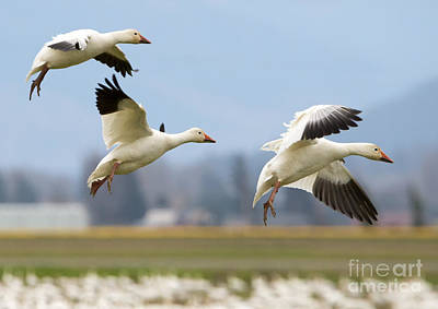Goose Photograph - Three Landing by Mike Dawson