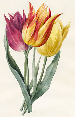 Tulips Drawing - Three Lily Tulips  by Louise D'Orleans