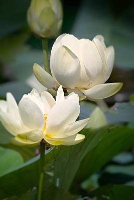 Three Lotus Flowers Print by Mary Almond