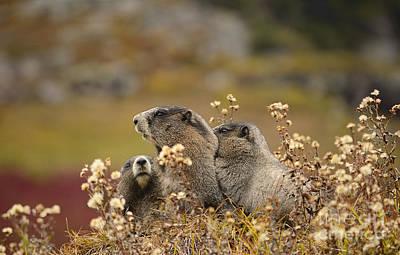 Mammals Photograph - Three Marmots by Marv Vandehey