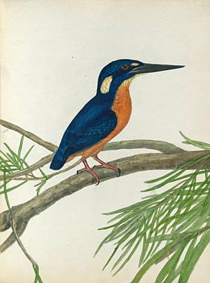 Kingfisher Drawing - Three-toe Kingfisher by John Lewin