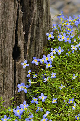Thyme-leaved Bluets - D008426 Print by Daniel Dempster