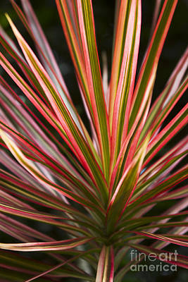 Ti Plant Cordyline Terminalis Red Ribbons Print by Sharon Mau
