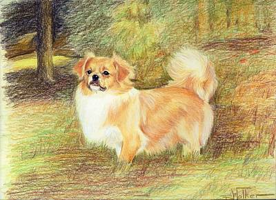Tibetan Spaniel Print by Barbara Walker