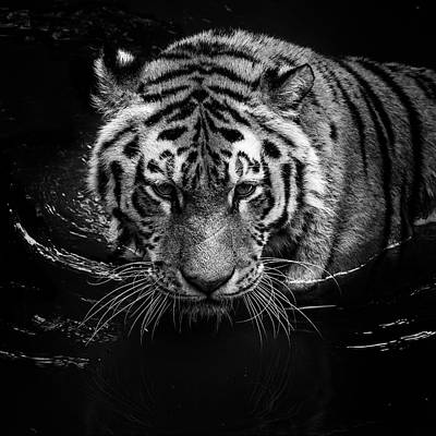 Grayscale Photograph - Tiger In Water by Lukas Holas