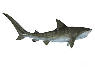 Tiger Shark Side View Print by Corey Ford