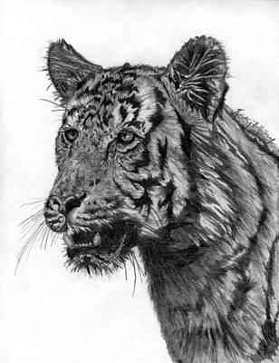 Blending Drawing - Tiger Study by Kristy Holliday Main