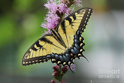 Photograph - Tiger Swallowtail Butterfly 01240 by Robert E Alter Reflections of Infinity