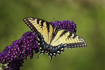 Photograph - Tiger Swallowtail Butterfly 01265 by Robert E Alter Reflections of Infinity