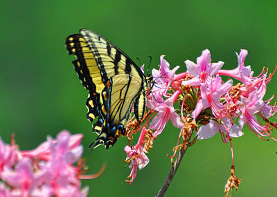 Butterfly Photograph - Tiger Swallowtail by JAMART Photography
