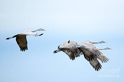 Sandhill Crane Photograph - Tight Formation by Mike Dawson