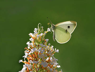Cabbage White Butterfly Photograph - Tight Grip by Donna Kennedy