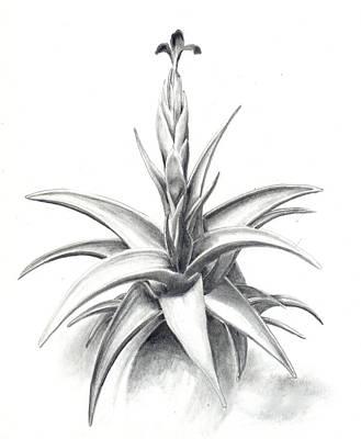 Tillandsia Drawing - Tillandsia Colganii by Penrith Goff