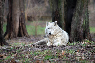Timber Wolf Print by Andrea Silies