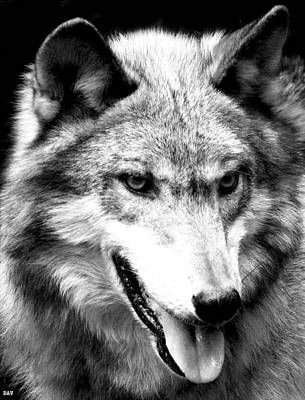 Black. Timber Wolf Photograph - Timber Wolf by Debra     Vatalaro
