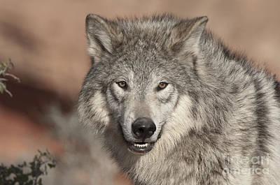 Timber Wolf Portrait Print by Sandra Bronstein
