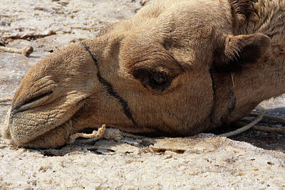 Camel Photograph - Time Out by Aidan Moran