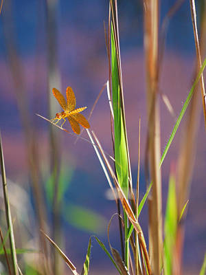 Dragon Fly Photograph - Tiny Dancer by Adele Moscaritolo