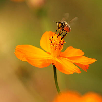 Bumblebees Photograph - Tiny Dancer by Marion Cullen