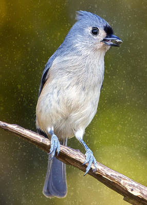 Tufted Titmouse Photograph - Titmouse Flurries by Bill Tiepelman